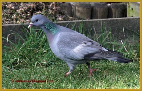 Stock Dove 02