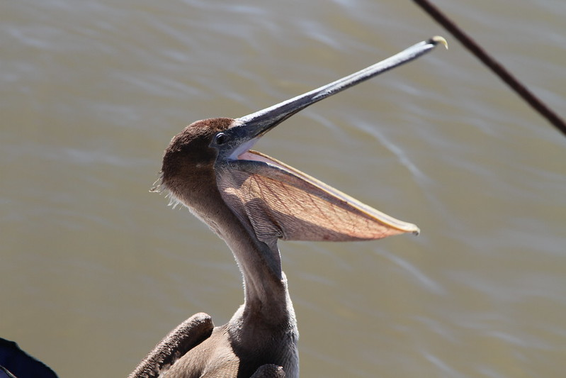 Pelican in Mobile Bay, Photo GRN