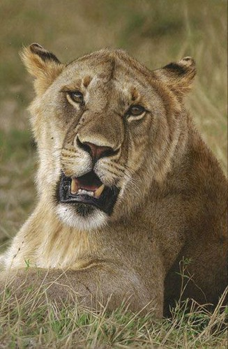 "'Nomadic Lion' oil on board 23¼"" x 15½"
