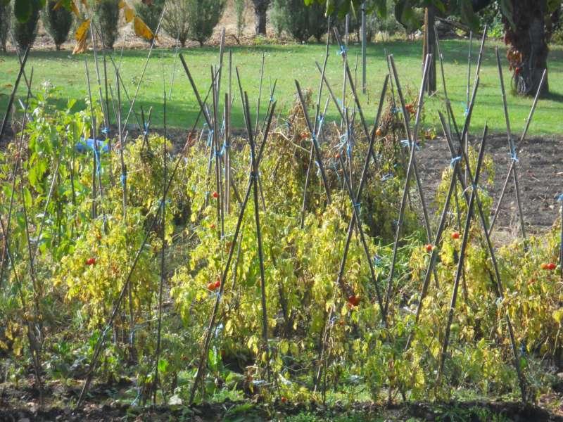 Cultivo del tomate en huertos ecológicos