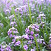 Small photo of Purple Alyssum