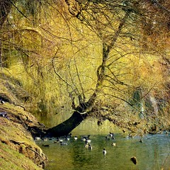 ✿ Willow and Mallards ✿
