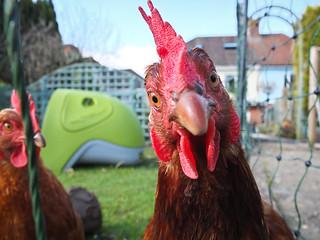 Curious Chicken (2/365)