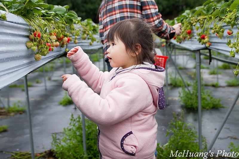 大湖採草莓