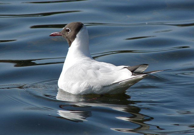 25698 - Black Headed Gull, Cosmeston
