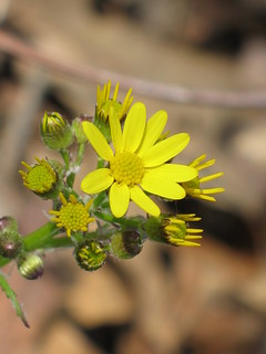 Butterweed - Packera glabella