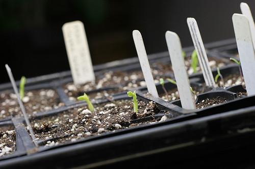 Vegetable Starts 2012