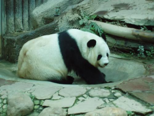 201201170045_CM-zoo-giant-panda