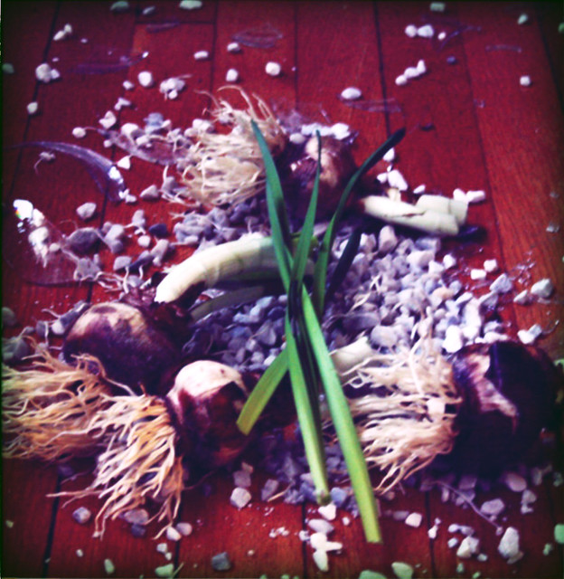 paperwhites on the floor