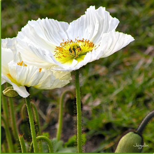 Fleurs de Pavot - Vive le printemps ! by Jogabi-Michèle