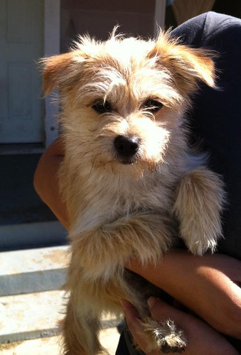 miller is an 8 pound 8 month old terrier