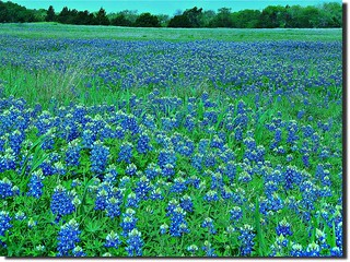 A field of blue...