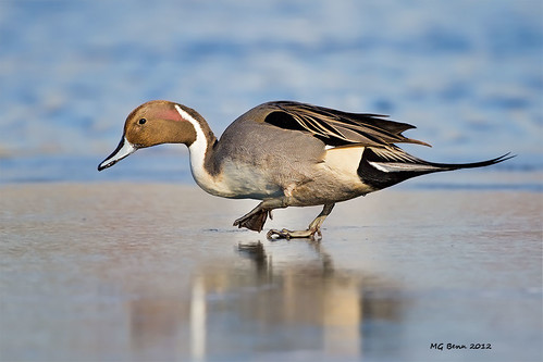 Northern Pintail - (Feb 2012)