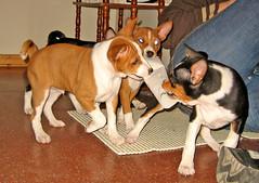 dog breed, animal, dog, brazilian terrier, pet, mammal, basenji, terrier,