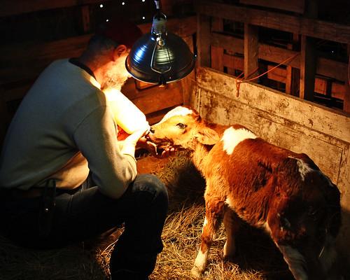 Feeding our new little calf