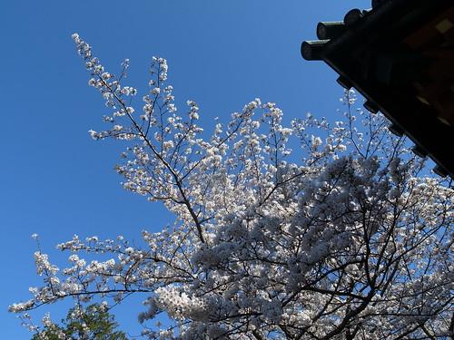 静岡浅間神社 桜2012