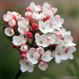 Viburnum Carlesii ~ Korean Spice Viburnum ~ It's Delightful!