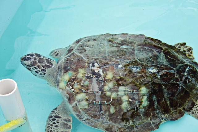 Loggerhead marine life center 13