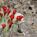 Small photo of Claret Cactus in rock