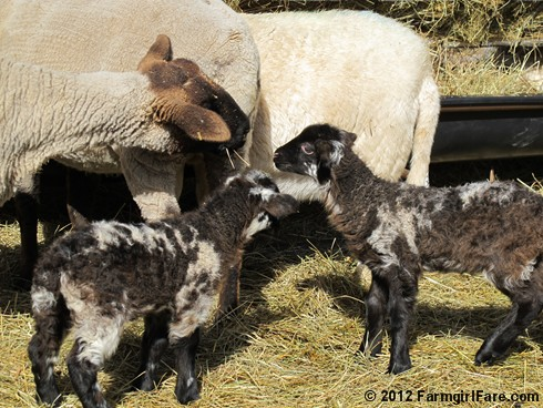 Wednesday random lamb photos 6 - FarmgirlFare.com