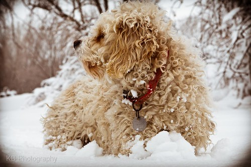 winter dog pet white snow cold animal rural fur landscape mammal furry flickr country posing tags curly collar facebook lowangle cavachon