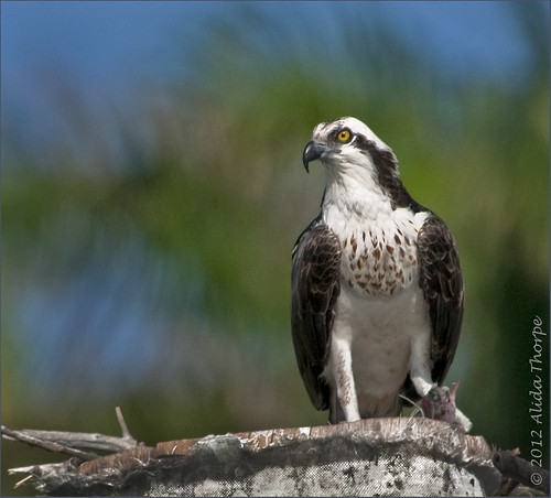 Osprey on piling
