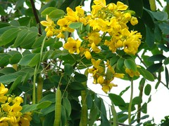 Cassia spp_Flowers