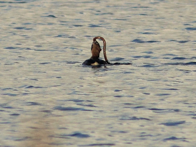 Pied-billed Grebe with siren 4-20120310