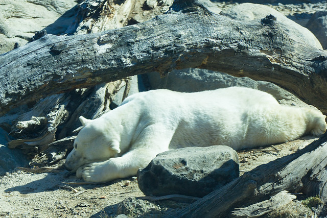 Polar Bear Hibernating | Flickr - Photo Sharing!