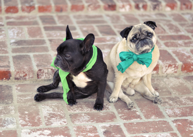 st patricks day dogs- pug and frenchie