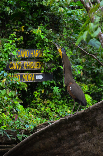 <p><i>Tigrisoma mexicanum</i>, Ardeidae<br /> Parque Nacional Tortuguero, Limón, Costa Rica<br /> Nikon D5100, 70-300 mm f/4.5-5.6<br /> February 3, 2012</p>