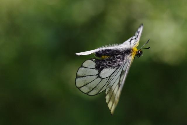 Parnassius citrinarius