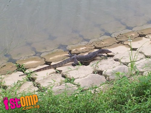 1m-long monitor lizard at Kallang River catches visitor by surprise