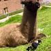 Spidey and a little alpaca at San Cristobal (Church), Cusco, Peru 05APR12