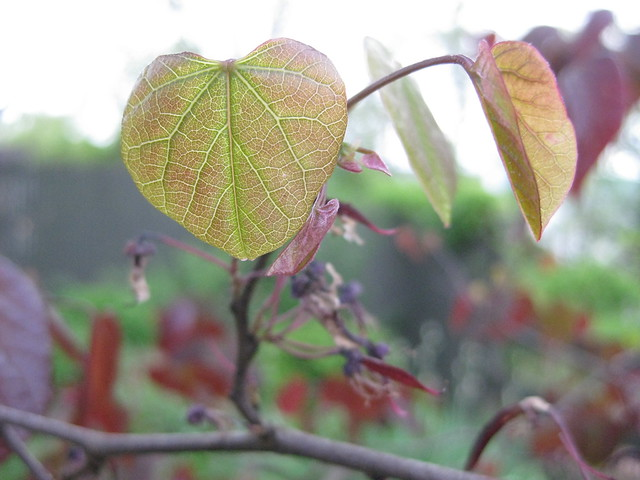 redbud leaves II
