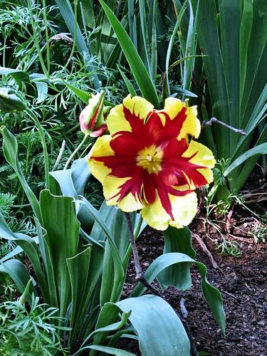 parott_tulip