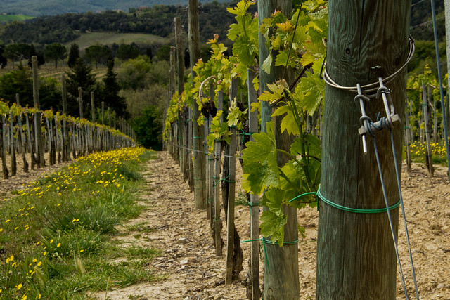 Umbrian Vineyard - Italian Countryside