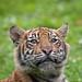 Sumatran Tiger Cub by Gareth Brooks