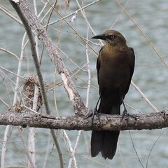 She grackle with attitude, in Austin Texas.