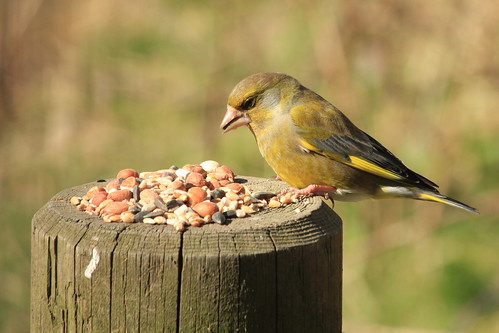 Greenfinch 25450