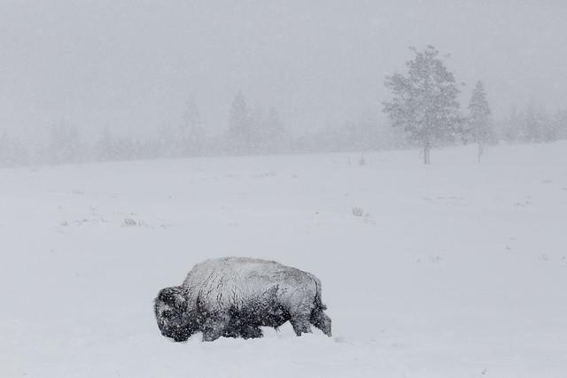 Bisonte americano (Bison bison) en la nieve. Parque nacional de Yellowstone. Estados Unidos.