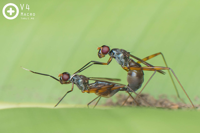 Stilt-legged flies copulation