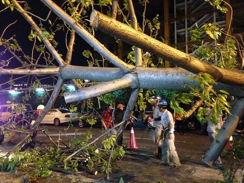 遠雄大巨蛋工程,25日晚間強行砍除復興南路上的行道樹。