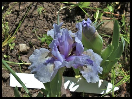 Iris St-Aubin-Sur- Mer (2)