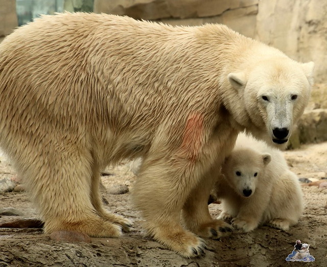 Eisbär Lilli im Zoo Bremerhaven 30.04.2016 Teil 2  44
