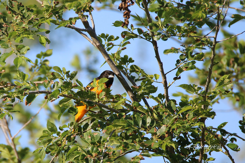 IMG_0141BaltimoreOriole