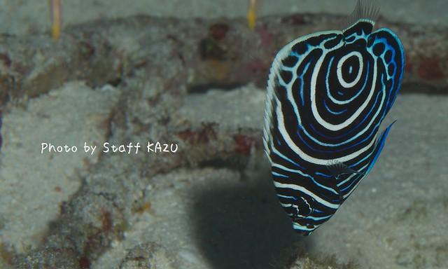 目が回りそうな模様のタテジマキンチャクダイ幼魚