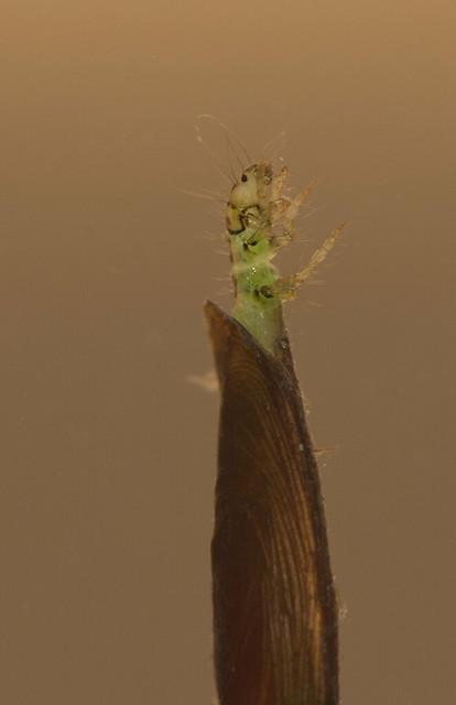 Micro caddisfly larva Agraylea multipunctata edited