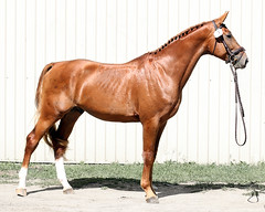 mane(0.0), mustang horse(0.0), animal(1.0), mare(1.0), stallion(1.0), colt(1.0), rein(1.0), mammal(1.0), halter(1.0), bridle(1.0), horse tack(1.0), horse(1.0),