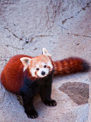Red Panda by DisHippy